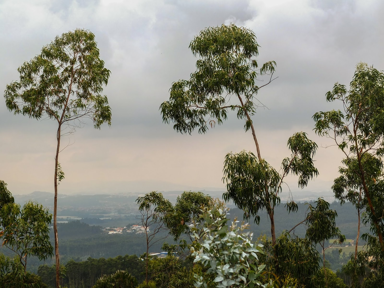 A mountain view with eucalyptus trees in the foreground in the North of Portugal.