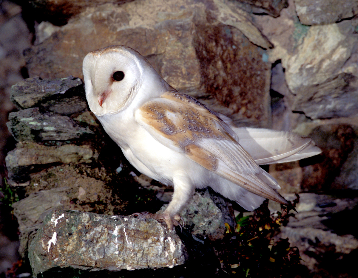 Duhallow Raptor Conservation Project: Barn Owl