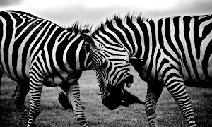 Black And White Africa Animals Wilderness