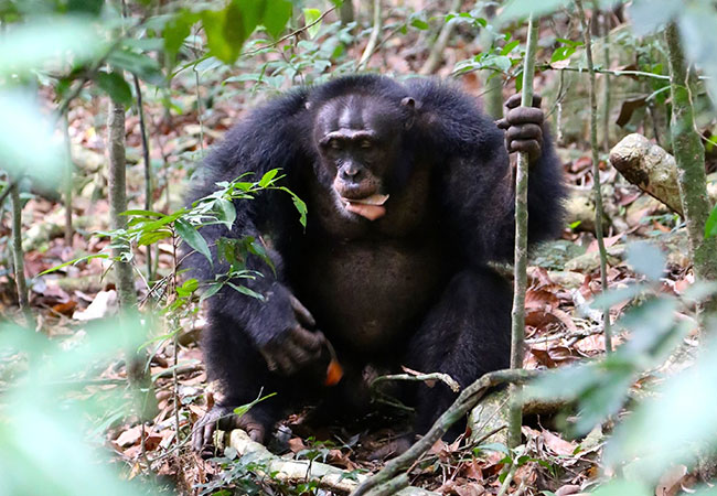 Penelitian Leaf clip on chimpanzee vocalization during alpha takeover
