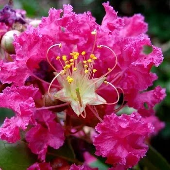 डायती flowers in Marathi
