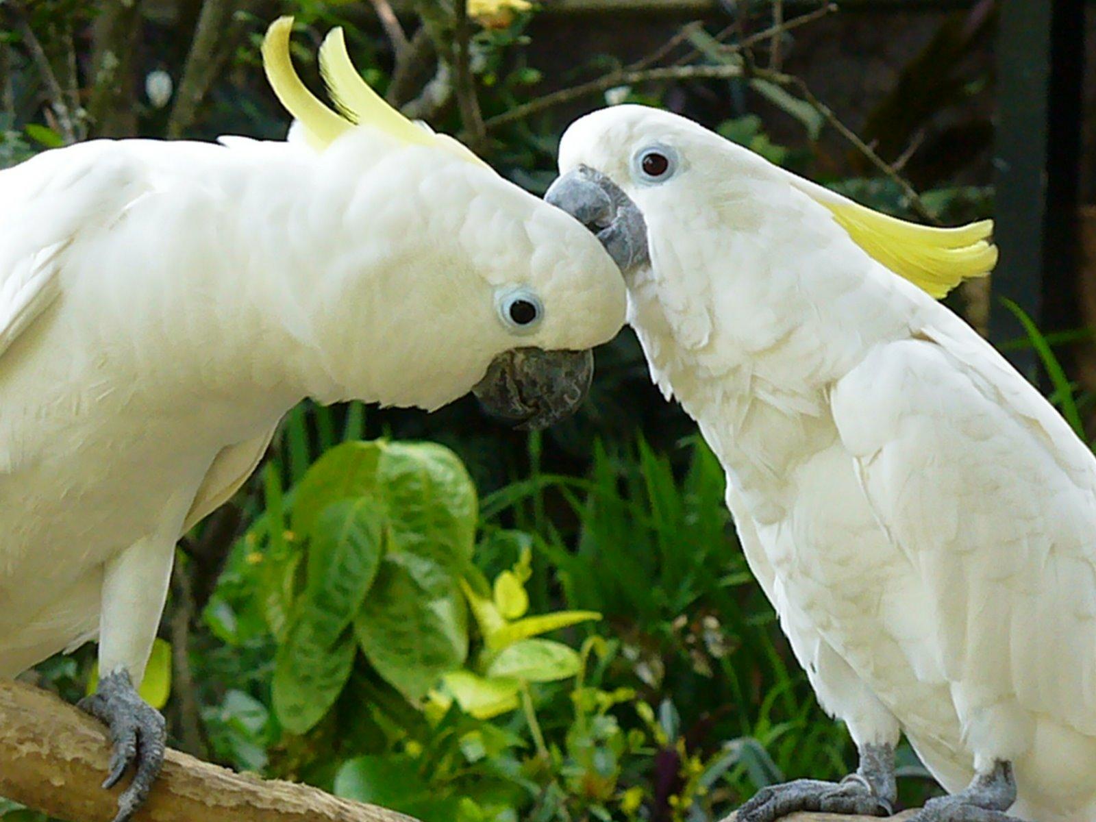 Berikut Cara Membedakan Burung Kakaktua Jantan Dan Betina Ne