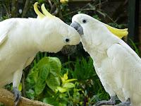Hasil gambar untuk gambar burung kakak tua putih