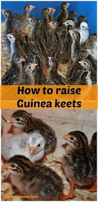 Raise guinea fowl keets