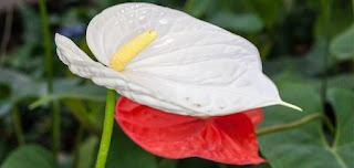 Gambar Bunga Anthurium yang Cantik 8