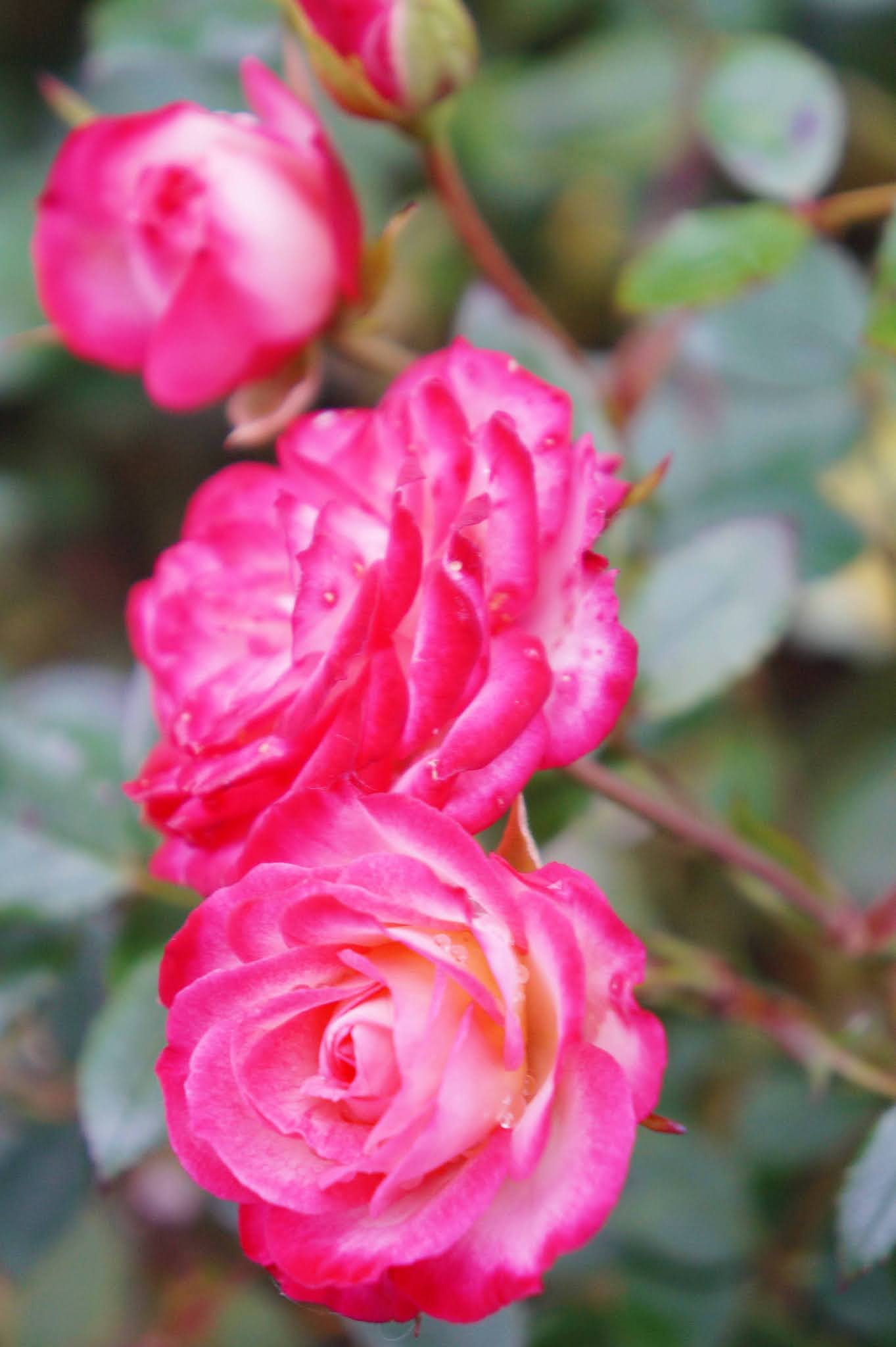 Rose water for Hair Carmen Varner blogger Is it good to spray water on your hair? How do you use rose water?