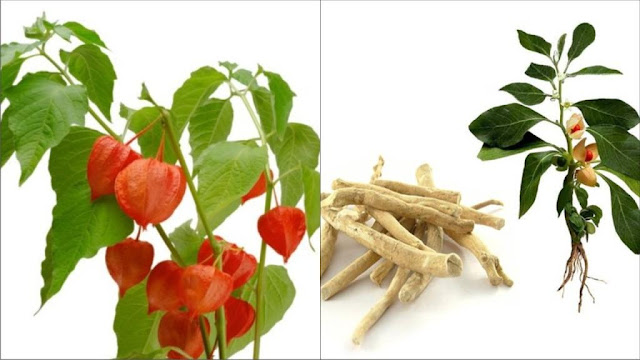 Ashwagandha and Shilajit - Advantages, Disadvantages & Dosage