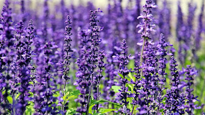lavender flowers hd wallpaper