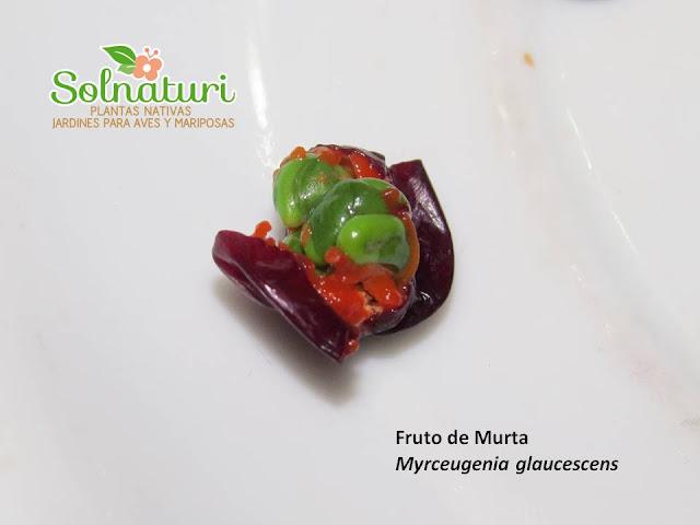 Myrceugenia glaucescens fruto y semillas