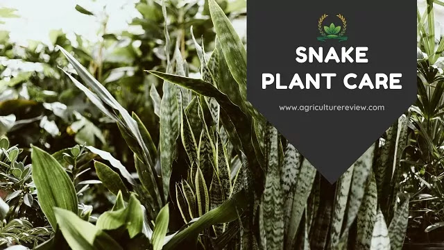 snake plant care by agriculture review
