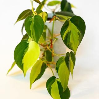 tanaman hias daun kecil