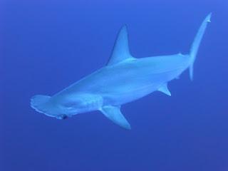 About Hammerhead shark. हेमरहेड शार्क।