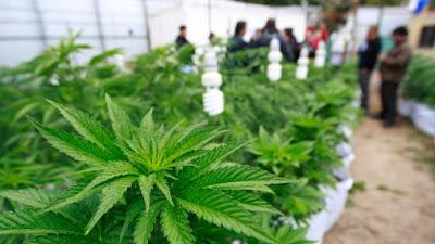 Plantas de Cannabis medicinales