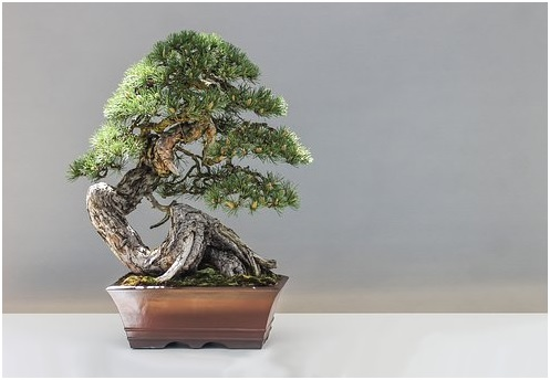 Bonsai tronco torto