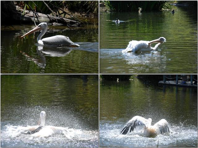 pelican splashing in the water