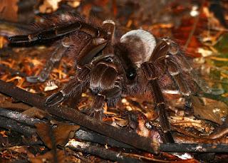 Theraphosa blondii world biggest crawly