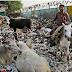 दो गायो के पोस्टमॉर्टम करने पर पेट से निकली 40 किलो प्लास्टिक