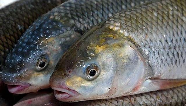 هاوردهكردنی ماسی سهلهمون قهدهغه كرا