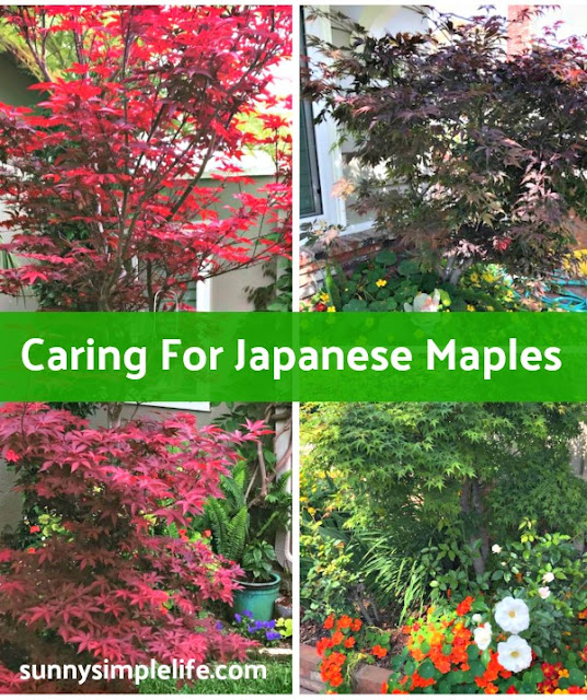 Japanese maples, garden trees, emperor maple