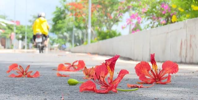 Cây hoa phượng đỏ tại Sa Đéc 3