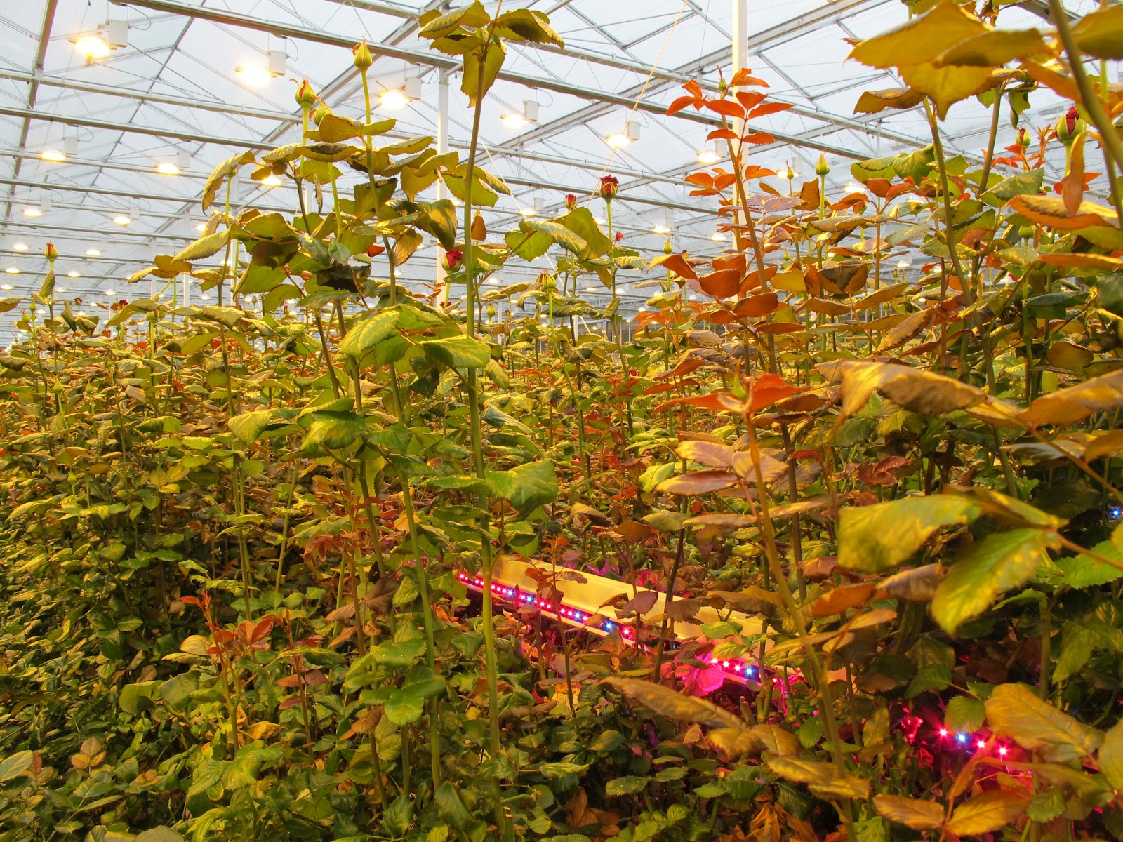 Horticultural Lighting with Ambra   OSRAM Opto Semiconductors   Horticultural Led Lighting