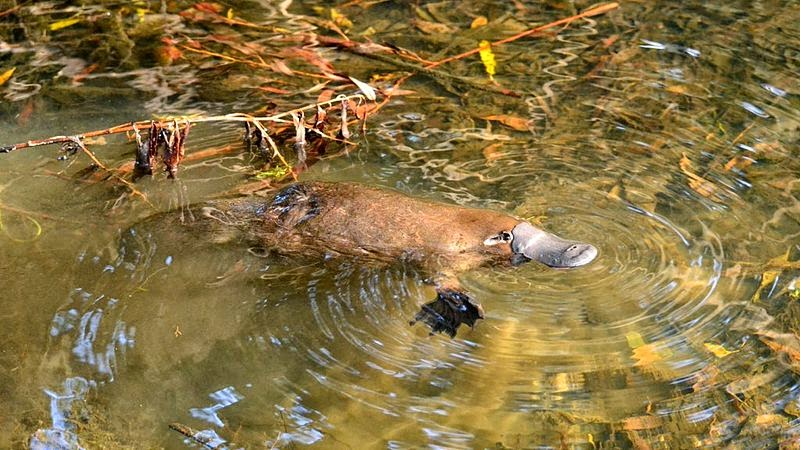 A platypus swimming in a Tasmanian creek