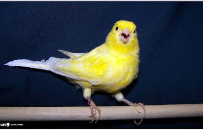 Om Sipit memiliki teknik sendiri dalam menjemur burung-burung Kenari peliharaannya. Ia menjemur burung-burung tersebut dalam sangkar yang sama dan tanpa sekat.