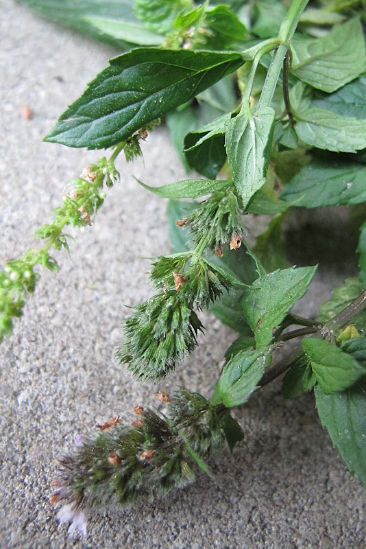 Recept: verfrissende kruidenthee uit den tuin