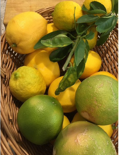Today's citrus harvest of lemons, limes and grapefruit in a basket