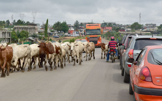 Seven cows die, passengers injured as bus rams into cattle
