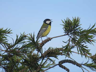 Photo of a Great Tit on a conifer branch, against a blue sky