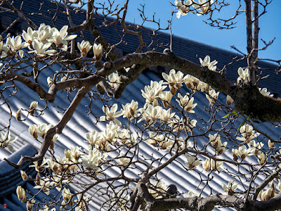 Haku-mokuren (Magnolia denudata) flowers: Engaku-ji