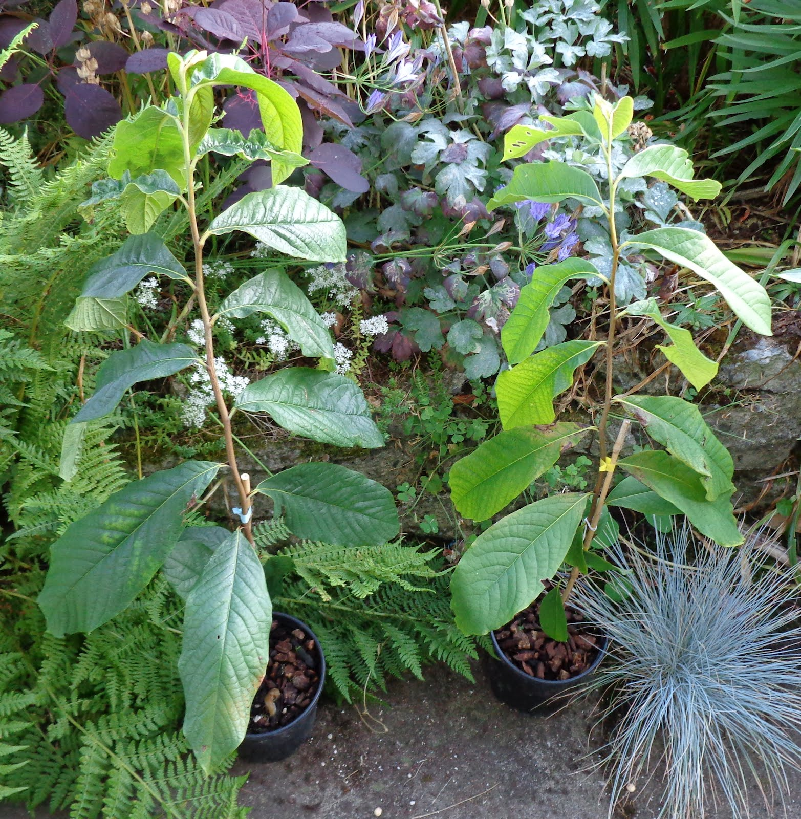 Here Are The 2 Containerized Paw Trees I Bought Yesterday At Portland Nursery When Walked Past Them Thought No Impossible