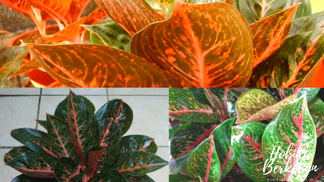 Mengenal Aglonema Adelia Hybrid Lokal
