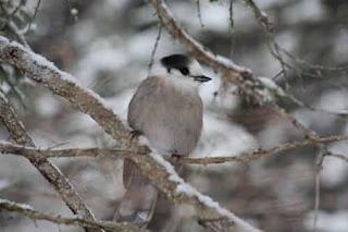 Grey Jay in Algonquin Park.