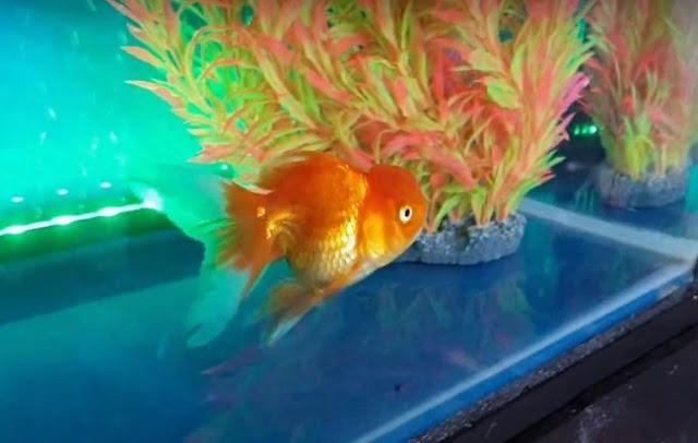 Goldfish - Beginner Fish
