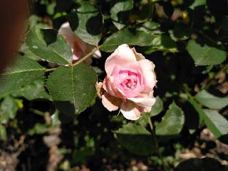 Photo of single pale pink slightly wabi-sabi rose