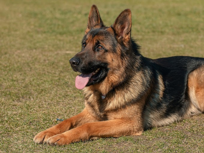 German Shepherds facts