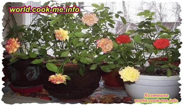 Как можно вырастить горшечные розы осенью дома