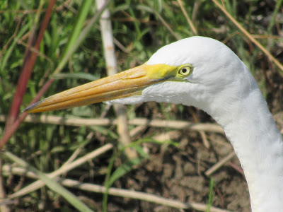 egret bird photography birding birdwatching birder