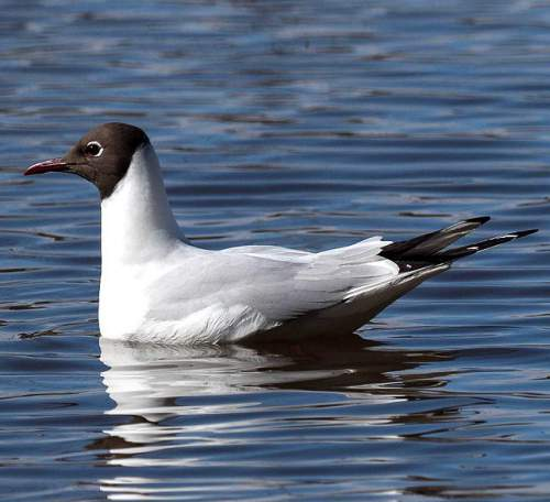 Indian birds - Image of Black-headed gull - Chroicocephalus ridibundus