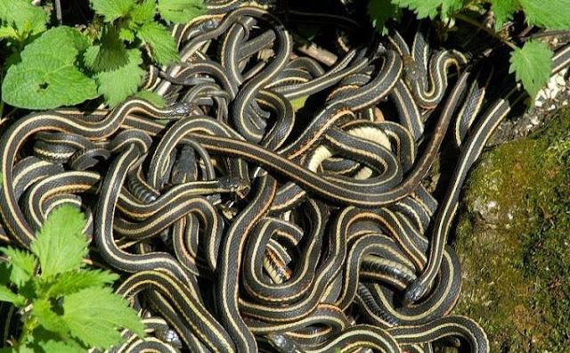 Melepas-ular-untuk-karma-baik-malah-berakhir-dengan-teror