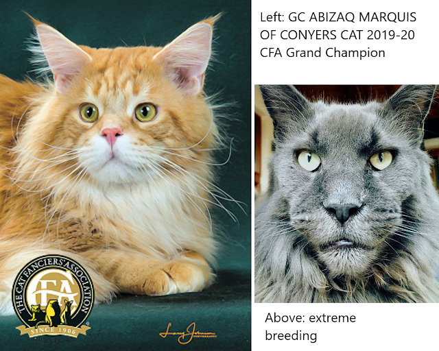 Comparison of the bold, large Maine Coon versus the more traditional type on the left.