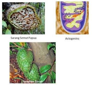 contoh tanaman sirsak dan sarang semut papua