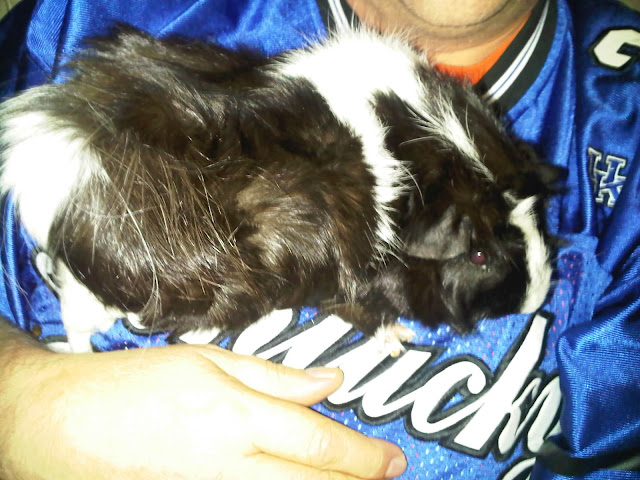 Black and white #Guineapig likes to be held-CarmaPoodale.com