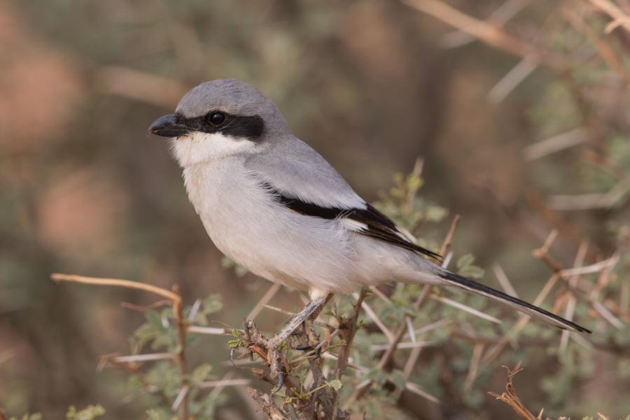 Great (Arabian) Grey Shrike