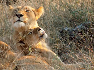 Two Lion Cubs Grooming