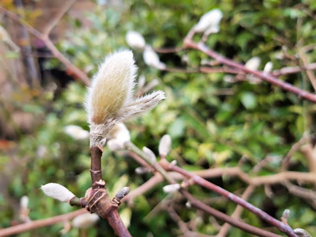 Image shows furry casing of a Magnolia flower to the left and in focus, with the rest of the plant to the right and slightly out of focus