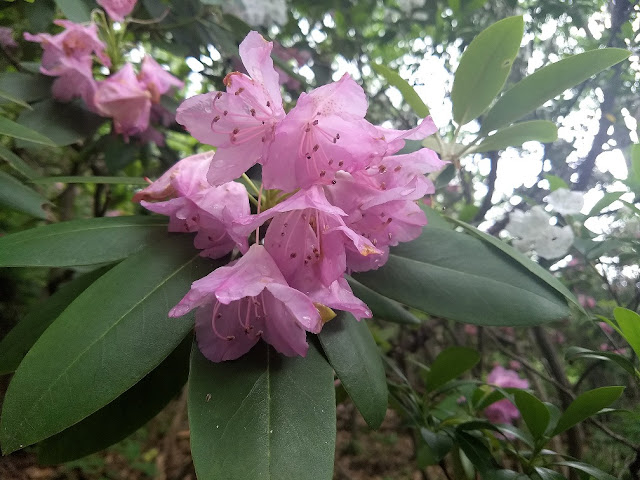 mountain laurel close