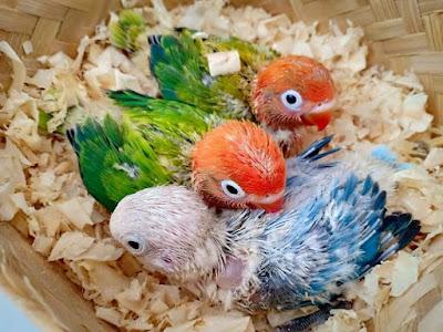 apakah biola green masih layak diternak Sukses Dalam Burung Lovebird Apakah Lovebird Biola Green Masih Layak di Ternak di Tahun 2019 ??